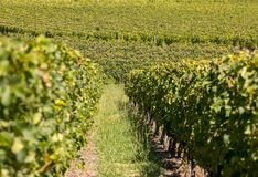 Ripe red Merlot grapes on rows of vines in a vienyard before the wine harvest in Saint Emilion region. France royalty free stock image