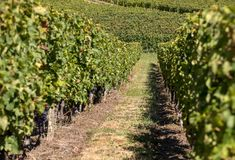 Ripe red Merlot grapes on rows of vines in a vienyard before the wine harvest in Saint Emilion region. France stock photos