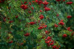 Ripe, red mountain ash on branches stock photos