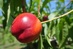 Ripe red nectarine on the tree in an orchard in summer Stock Photos