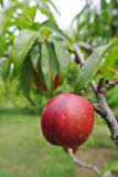 Ripe red nectarine on the tree in an orchard on a summer day. Stock Photos