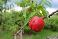 Ripe red nectarine on the tree in an orchard on a summer day. Royalty Free Stock Photo