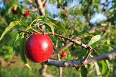 Ripe red nectarine on the tree in an orchard on a sunny afternoon Stock Image