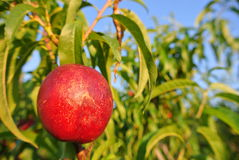 Ripe red nectarine on the tree in an orchard on a sunny afternoon Stock Photography
