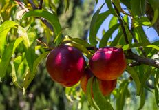 Ripe red nectarines hanging from a tree. Branch stock image