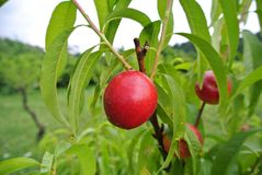 Ripe red nectarines on the tree in an orchard on a summer day. Stock Image
