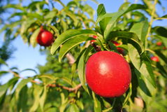 Ripe red nectarines on the tree in an orchard on a sunny afternoon Royalty Free Stock Photo
