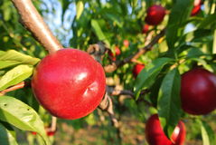 Ripe red nectarines on the tree in an orchard on a sunny afternoon Stock Photo