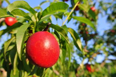 Ripe red nectarines on the tree in an orchard on a sunny afternoon Stock Images
