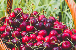 Ripe red organic sweet cherry in the garden. In the summer. Agricultural background Royalty Free Stock Photos