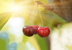 Ripe red organic sweet cherry in the garden. In the summer. Agricultural background Stock Image
