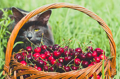Ripe red organic sweet cherry in the garden. In the summer. Agricultural background Stock Photos