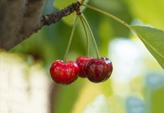 Ripe red organic sweet cherry in the garden. In the summer. Agricultural background Royalty Free Stock Photo