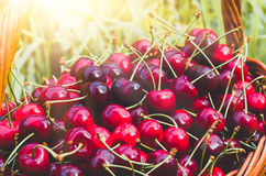 Ripe red organic sweet cherry in the garden. In the summer. Agricultural background Royalty Free Stock Image