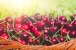 Ripe red organic sweet cherry in the garden. In the summer. Agricultural background Stock Photography