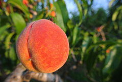 Ripe red peach on the tree in an orchard in summer Royalty Free Stock Image