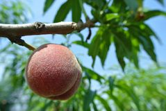 Ripe red peach on the tree in an orchard on a sunny day Royalty Free Stock Photography