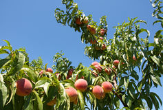 Ripe red peaches on the tree. Close-up of beautiful, delicious, ripe, red peaches hanging on branches of the tree in a summer, sunny day Stock Images