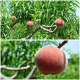 Ripe red peaches on the tree in an orchard; photo collage Stock Photos