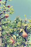 Ripe red pears on the tree in an orchard; retro Instagram style Royalty Free Stock Photo