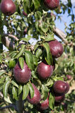Ripe red pears on tree ready to harvest Stock Photo