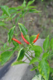 Ripe red peppers. Bright red peppers growing on a leafy green plant Royalty Free Stock Photography