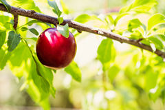 Ripe red plum on the branch Stock Images