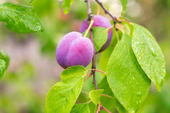 Ripe red plums on the branch Stock Photo