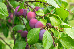 Ripe red plums on the branch Royalty Free Stock Photo