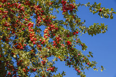 Ripe red plums on the tree Stock Photo