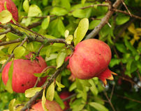 Ripe red pomegranate fruit on a tree branch Royalty Free Stock Photos
