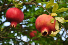 Ripe red pomegranate fruit on a tree branch Royalty Free Stock Photography