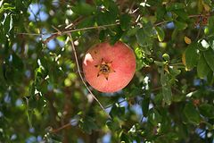 Ripe red pomegranate on a tree among green leaves. A ripe red pomegranate on a tree among green leaves on a sunny day stock photos