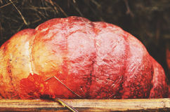 Ripe red pumpkin in wooden box Royalty Free Stock Images