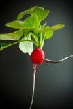 Ripe red radish with foliage. On a black background Stock Image