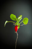 Ripe red radish with foliage. On a black background Royalty Free Stock Photography