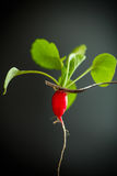 Ripe red radish with foliage. On a black background Stock Images