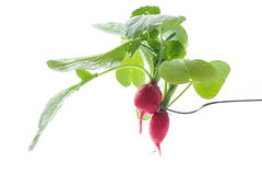 Ripe red radish with foliage. On a white background Royalty Free Stock Image