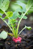 Ripe red radish in the garden. Closeup Royalty Free Stock Photos