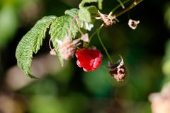Ripe and red raspberries. In the garden on a bush branch in a beautiful garden Stock Photo