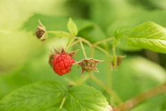 Ripe Red Raspberries Growing On Plant Stock Photos
