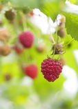 Ripe red raspberries Stock Images