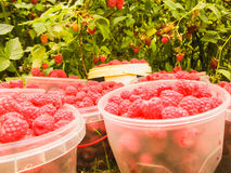 Ripe red raspberries in small containers for sale in the store Royalty Free Stock Photos