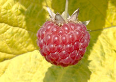Ripe red raspberry on a background of leaves Stock Image