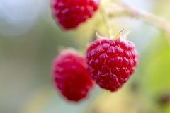 Ripe raspberry on branch Royalty Free Stock Photos