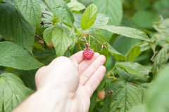 Ripe red raspberry Royalty Free Stock Image
