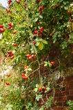 Ripe red rosehips Stock Images