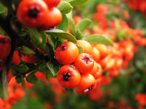Ripe red rowan berries. With green leaves stock photo