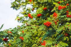 Ripe red Rowan berries on branches with green leaves. Ripe red Rowan berries on branches with green leaves in late summer or early autumn royalty free stock photography