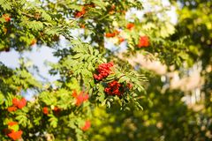 Ripe red Rowan berries on branches with leaves in Septembe. Ripe red Rowan berries on branches with green leaves in late summer or early autumn royalty free stock image
